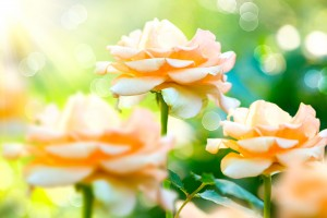 http://www.dreamstime.com/stock-photography-growing-blooming-roses-rose-flower-garden-image37916912